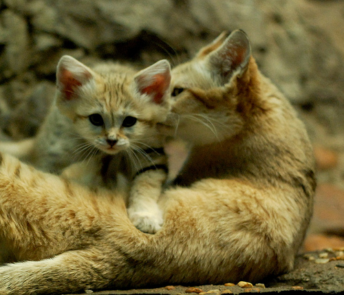 Sand Kitten and Mom